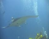 巨大なマンタのジャンプを水中から捕らえた映像