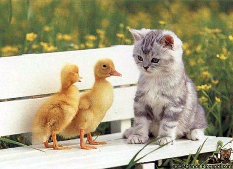ducks-kitten