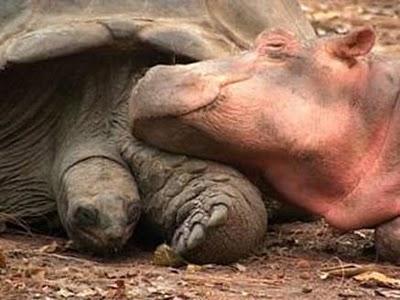 hippo-turtle-4