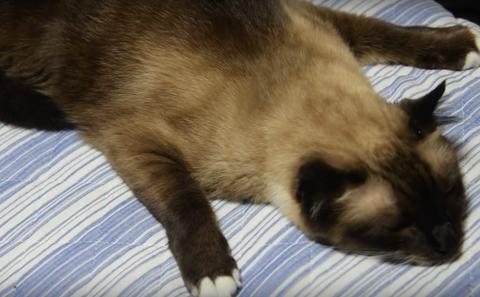 シャム猫 変な寝方