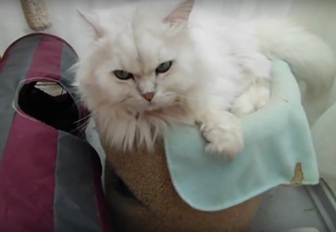 ペルシャ猫 日常