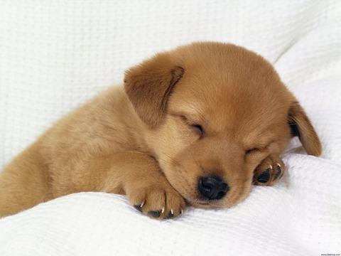 sleeping_puppy-1