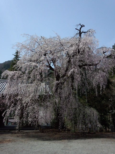 04蓮台寺の山門前のしだれ桜その1