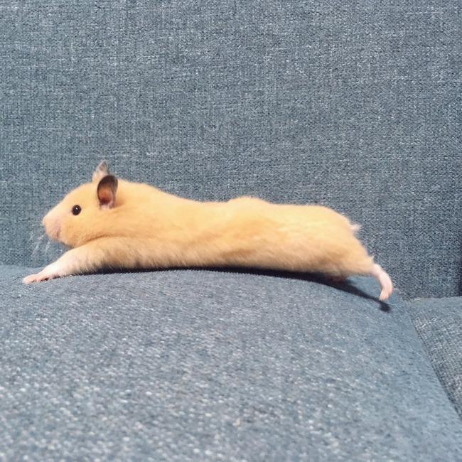 【可愛い】ハムスターさん、ようやく完璧な座り方を発見するwwwwwwwwwwwwwwwwwwww