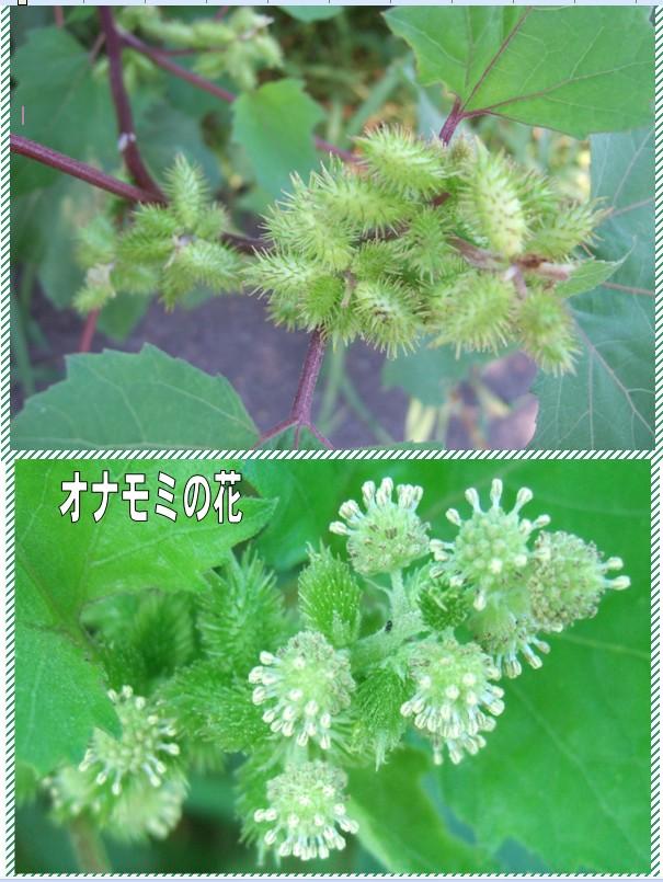 オナモミの画像 p1_29