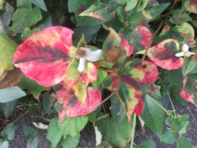 紅い葉のドクダミ