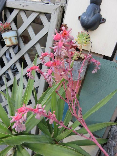 シャビアナ・ピンクフリル花