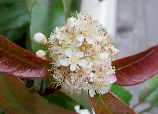 レッドロビンの花1
