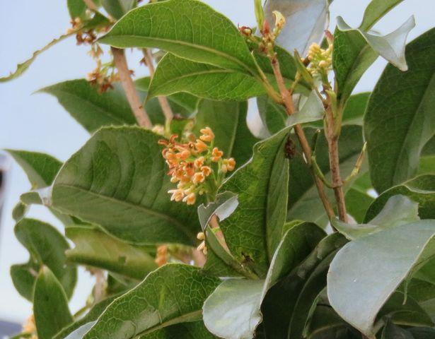 四季咲き木犀