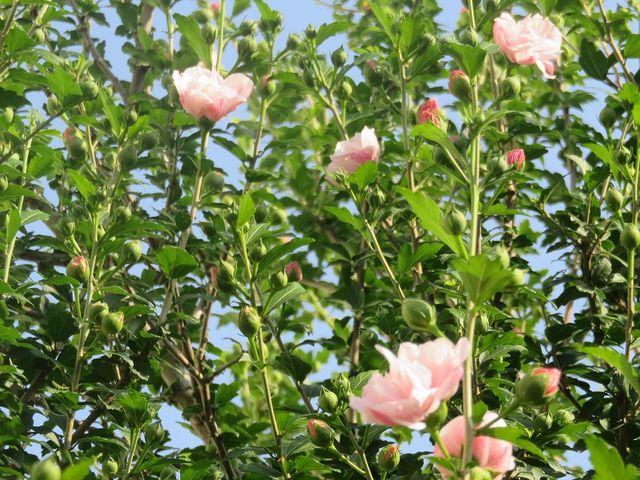 ムクゲの開花