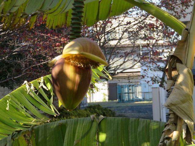 芭蕉の実と花