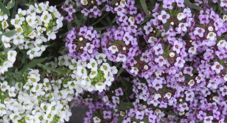 スイートアリッサムの可愛い花 : 私の散歩道