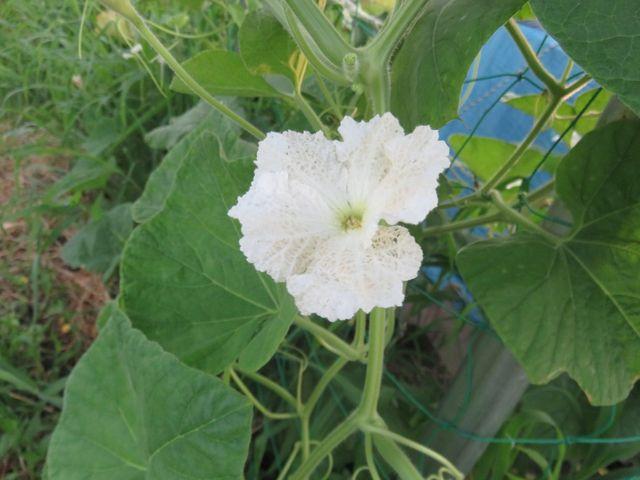 ヒョウタンの花