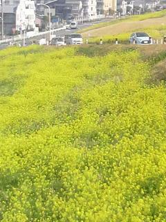 20140402流山菜の花2