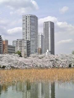 20140402不忍桜8ビル中央