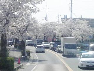 20140402流山桜1