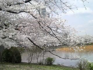 20140402不忍桜1