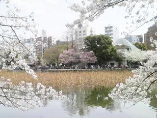 20140402不忍桜5