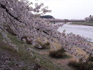 角館桧木内川土手の満開のピークは越えつつも見頃の桜のアップと桜並木