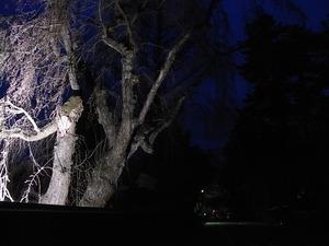日暮れにライトアップされた角館武家屋敷のしだれ桜もまだ咲く前2