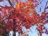 日本庭園の紅葉2