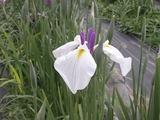 白と紫の花菖蒲
