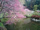 梅が満開水戸偕楽園16