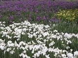花菖蒲の花畑1