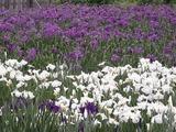 白と紫色の花菖蒲たち