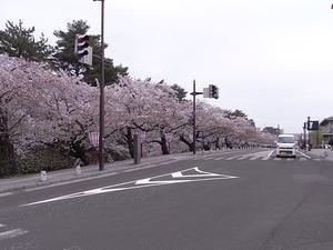 弘前城お堀の周りの辛うじて見頃の桜