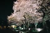 自由学園の夜桜4