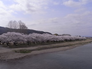 北上展勝地 満開の北上川の沿い桜並木