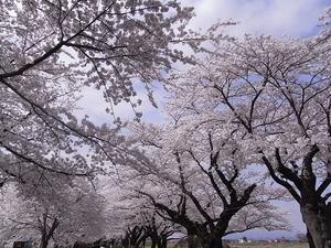 北上展勝地 目一杯花を咲かせた桜並木4
