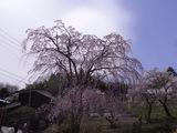 歴史民俗資料館の桜1