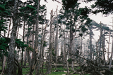 立ち枯れの森大台ケ原08