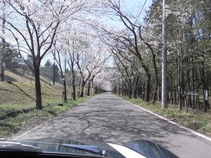 太平山遊覧道路 桜のトンネル6