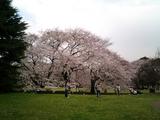 砧公園の桜12