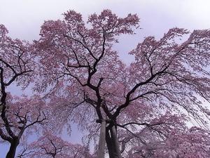 三春滝桜の花2