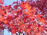 日本庭園の紅葉3