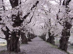 角館桧木内川土手の満開のピークは越えつつも見頃の桜並木