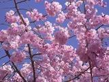 ピンクの色味が強い桜2