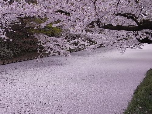 弘前さくらまつり弘前城のお堀の桜