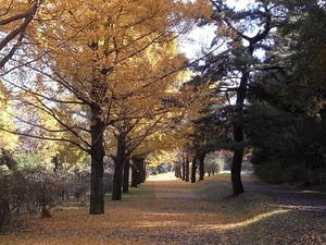 国営昭和記念公園のイチョウの並木道05