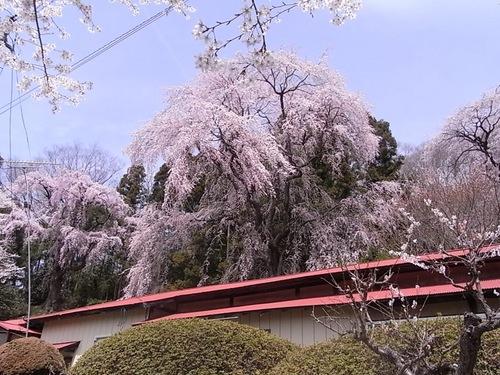 三春町内の桜