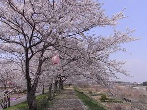 思川河川敷の桜並木川側に大きく伸ばした枝振り