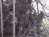 山高神代桜の幹のアップ1