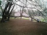 砧公園の桜13