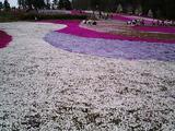 羊山公園の芝桜2