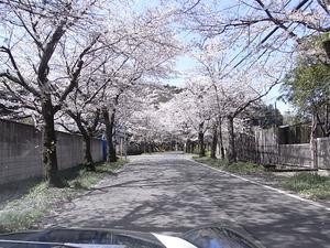 太平山遊覧道路 桜のトンネル1