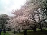 砧公園の桜06